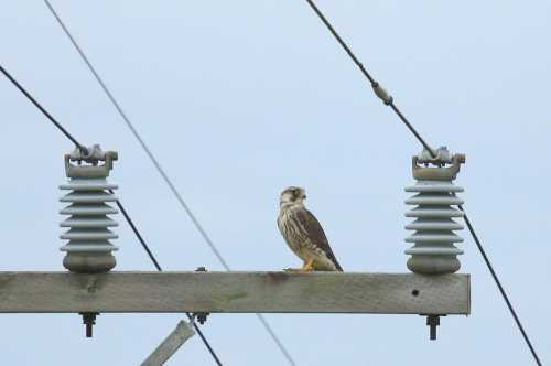 Peregrin Falcon, Tim Lenz, Some Rights Reserved