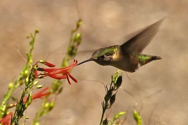 Hummingbird Image from the Department of Forestry
